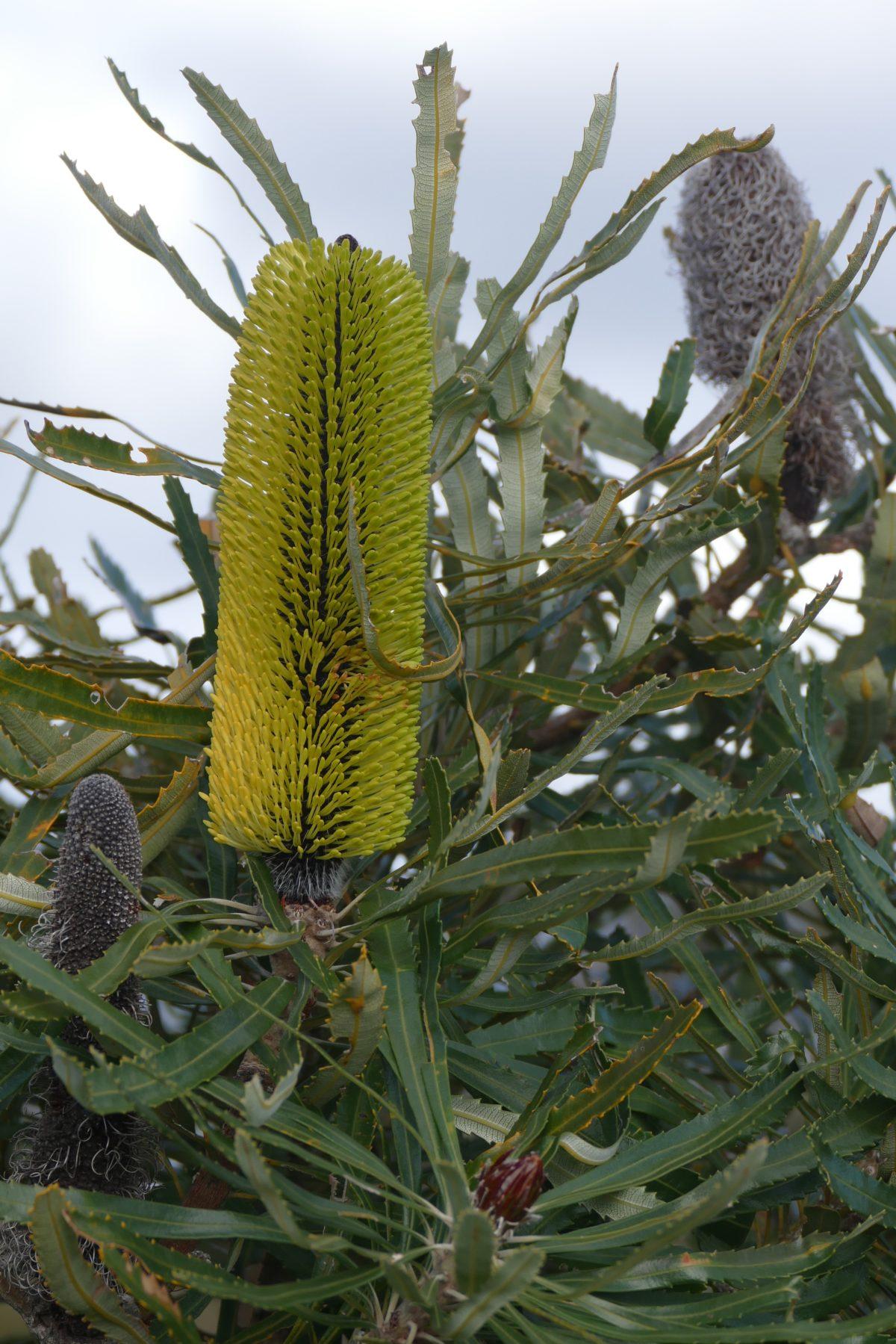Banksia, Waychinicup, Spring 2016. All photos copyright Doug Spencer.