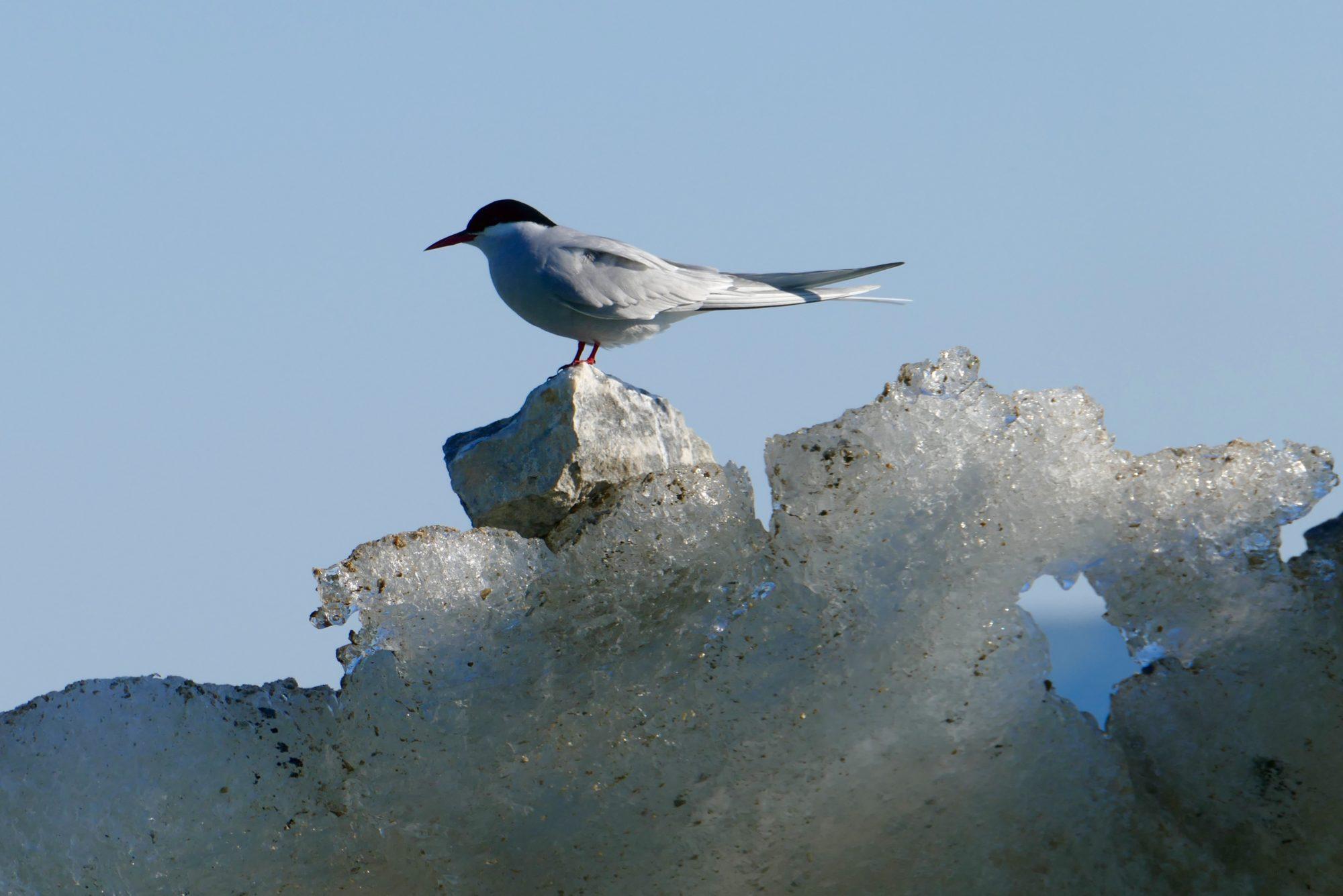 Arctic Tern, Glacier Bay. All photos copyright Doug Spencer.