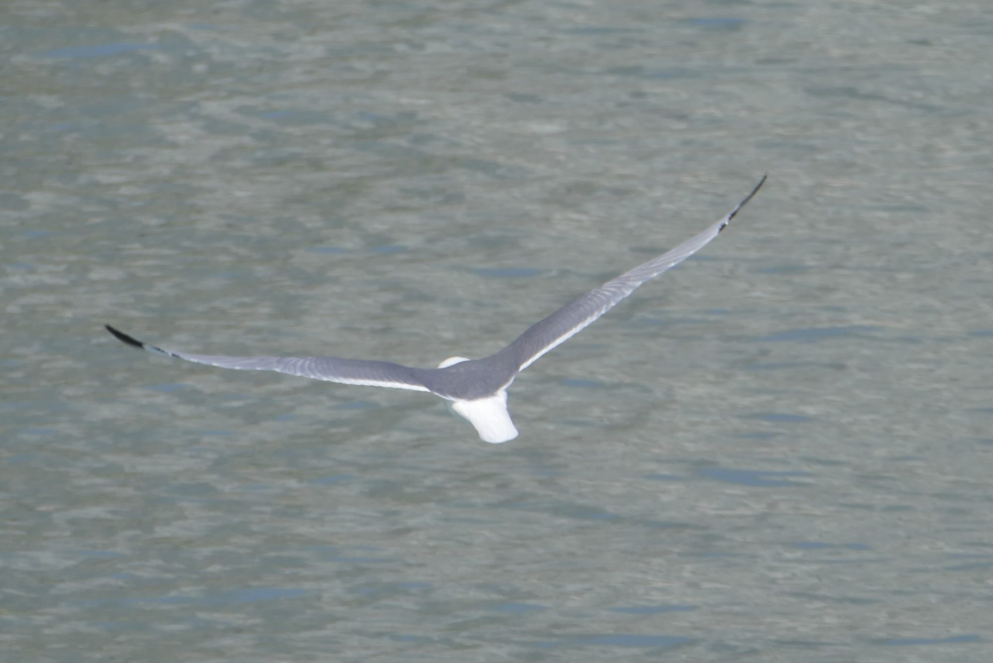 Kittiwake in flight, Glacier Bay. All photos copyright Doug Spencer.