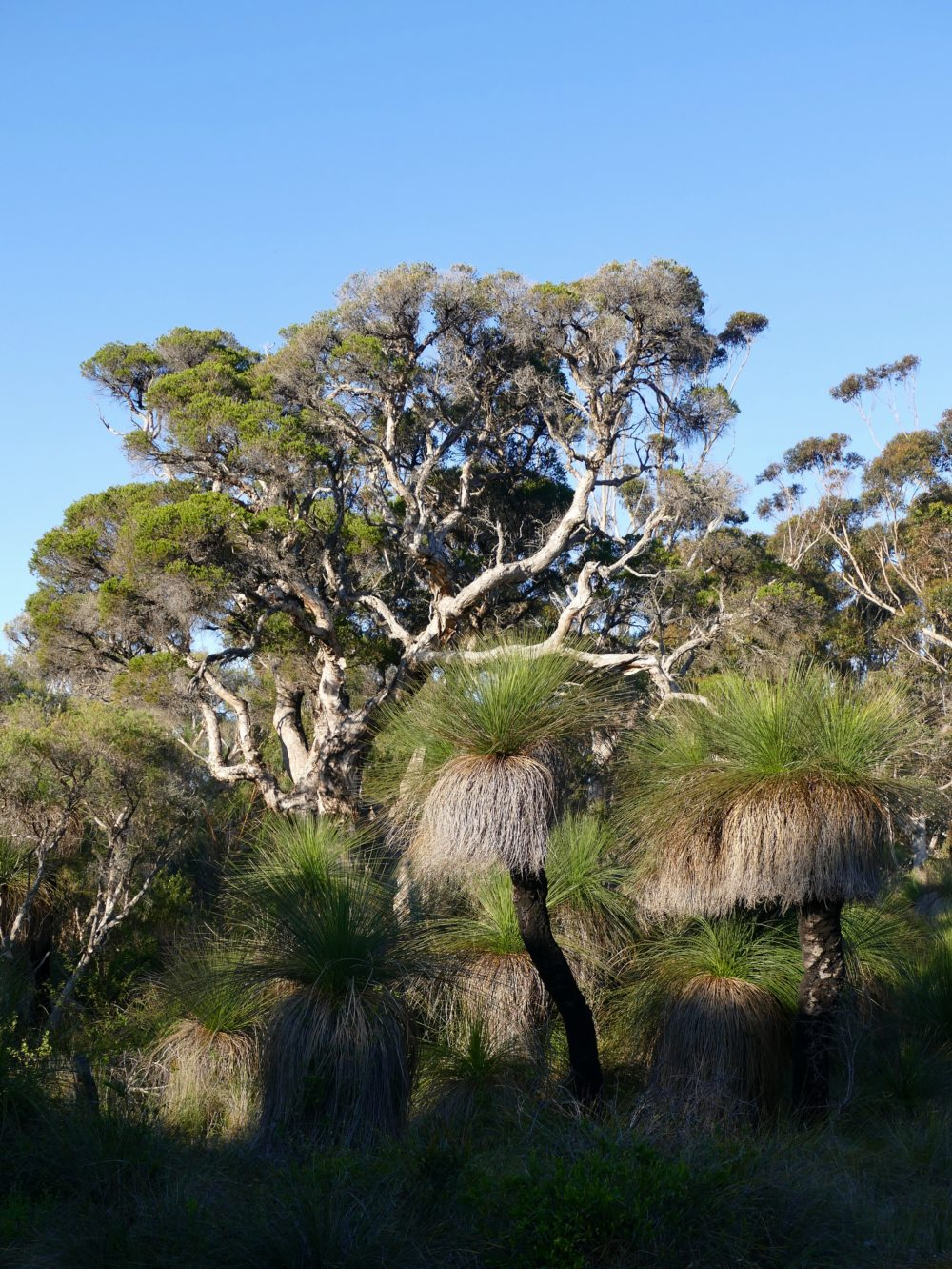 Grasstrees, very big/old paperbark. All photos copyright Doug Spencer.