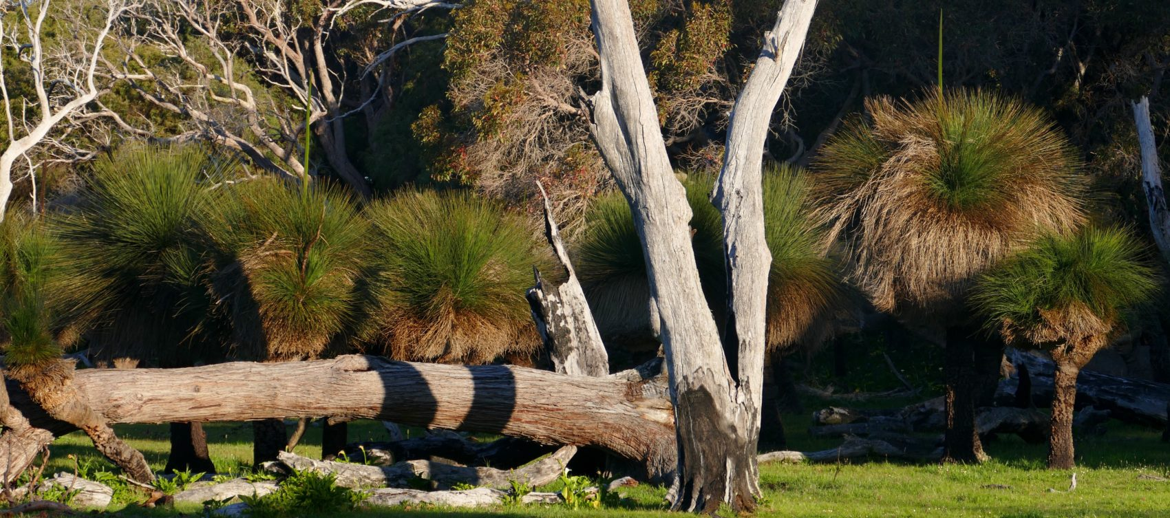 Grasstrees in paddock. All photos copyright Doug Spencer.