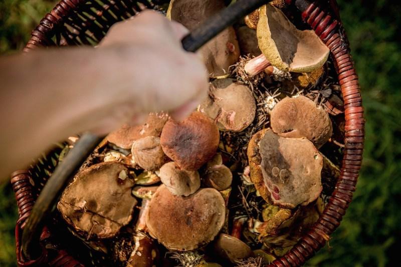 raccogliere-i-funghi-a-pellizzano-come-avere-il-permesso