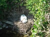 nesting-swan-stackpole-large