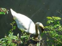 swan-stackole-nature-reserve-large