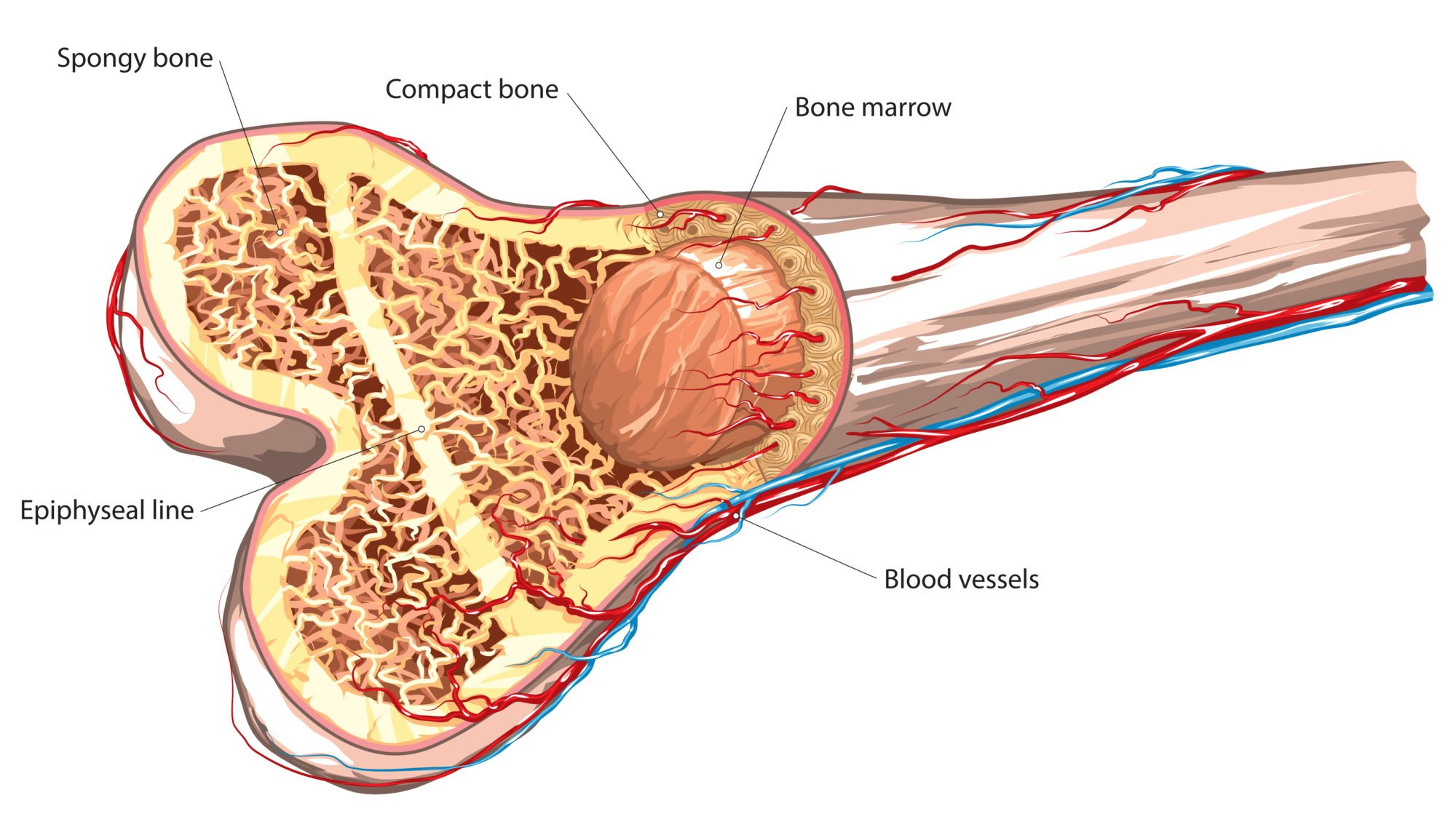 diagram of a bone inside porsche 964 spoiler wiring how pemf therapy promotes tissue regeneration