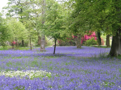 Bluebell Sundays at Pencarrow House and Garden