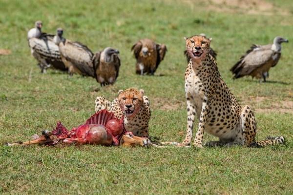 Best Cheetah Kill in Mara