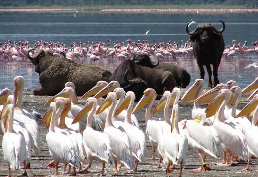 Lake Nakuru white pelicans and buffaloes with flamingos in the background