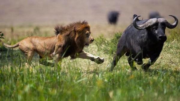 Lion hunting a buffalo - Masai Mara Safaris