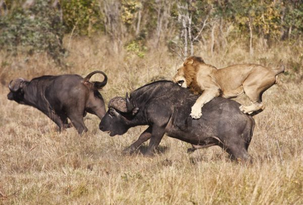 Kenya Safaris and Tours | Penfam Tours and Safaris | Male lion attack huge buffalo bull