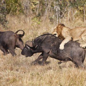 Kenya Safaris and Tours | Penfam Tours and Safaris | Male lion attack huge buffalo bull