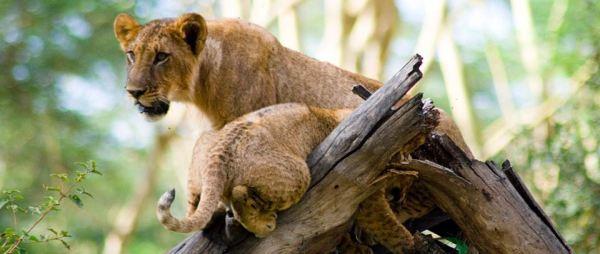 Lake Nakuru Tree climbing Lions with cub