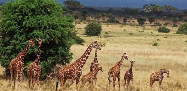 Reticulated giraffe - Samburu National Reserve