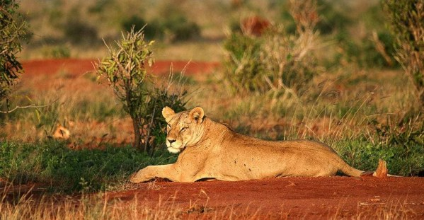 Kenya Safaris and Tours | Penfam Tours and Safaris | Lioness morning lazing
