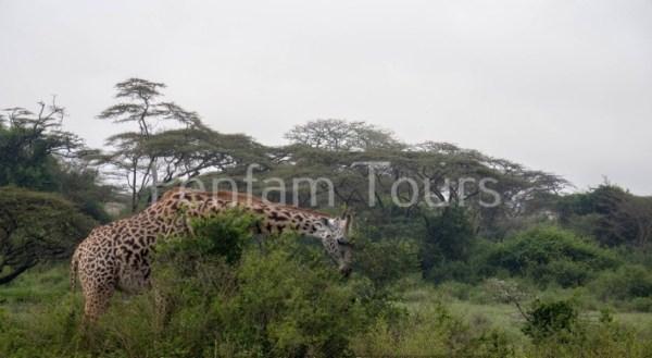 Masai giraffe in Nairobi National Park