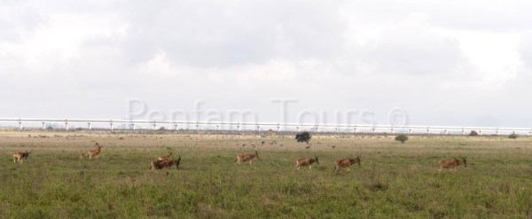 Nairobi National Park Coke's hartebeest with the SGR in the background