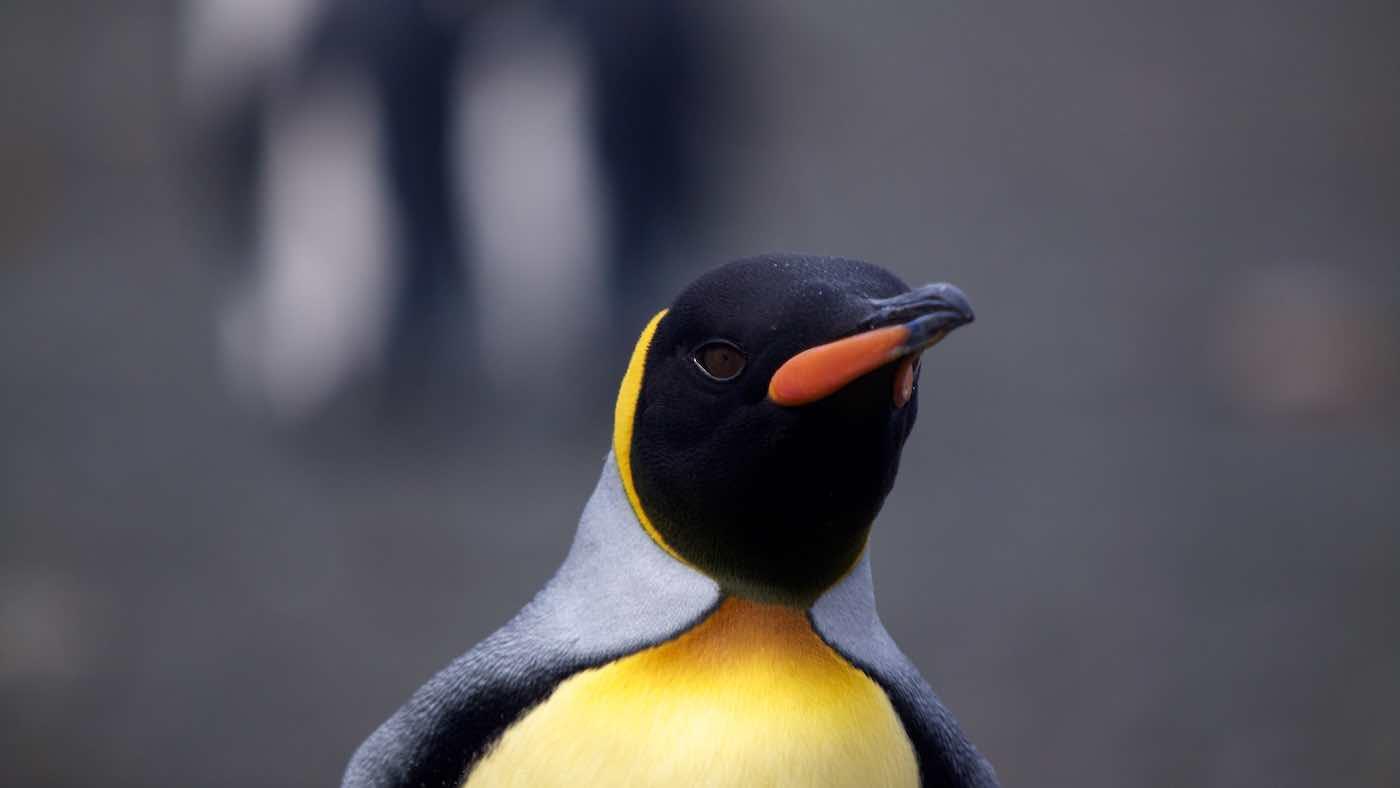 King Penguin Aptenodytes patagonica