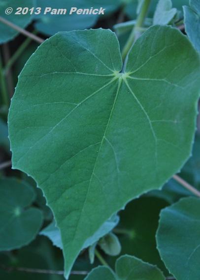 spade shaped leaf zoshwiki co