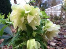 The Spring Garden: Hellebores – Penlan Perennials Nursery