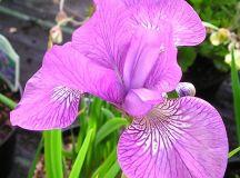 Iris sibirica 'Sparkling Rosé' – Penlan Perennials Nursery