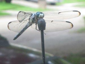 Dela's dragonfly