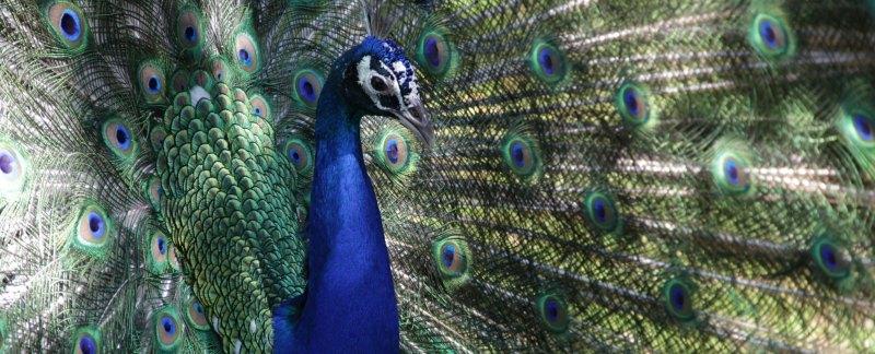 drop-dead peacock