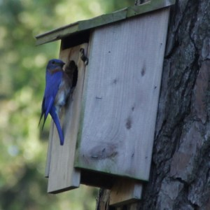 first freeze bluebird