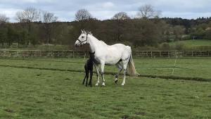 Pennineview Independence - with foal 2017