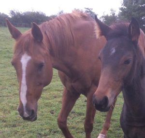 The Bees Kness V - with foal by young intermediate eventer