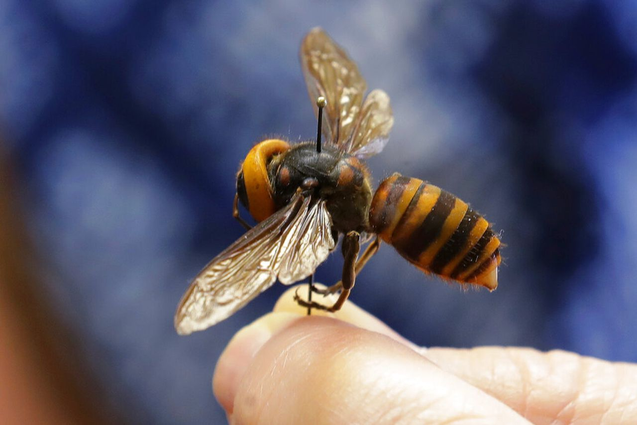 Murder Hornet In Pennsylvania If You See One Do This Pennlive Com