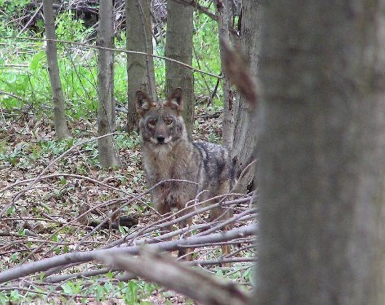 Coyote, fox hunters allowed to use night-vision and infrared optics