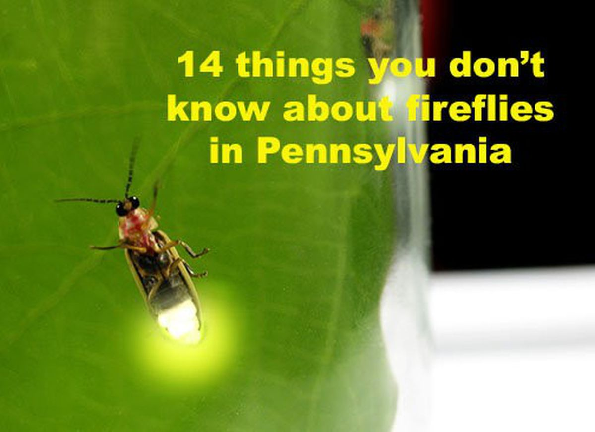 14 fascinating facts about fireflies ahead of their