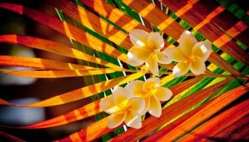 Bali-flowers-by-jason-lunn-1739