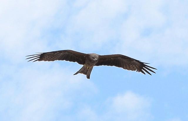 aigle-ou-poule