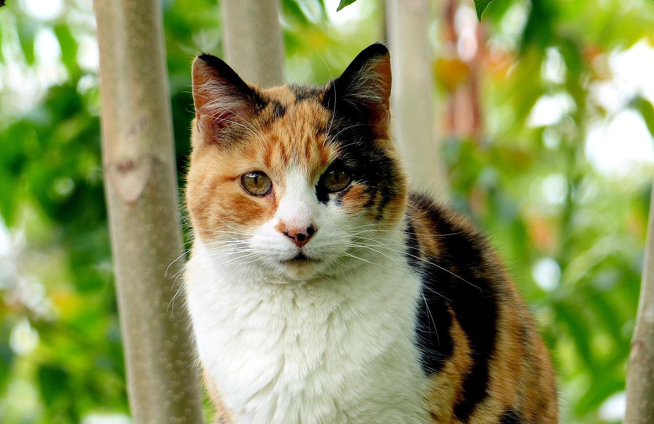 Les chattes tricolores