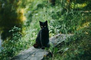 chat noir Combourg