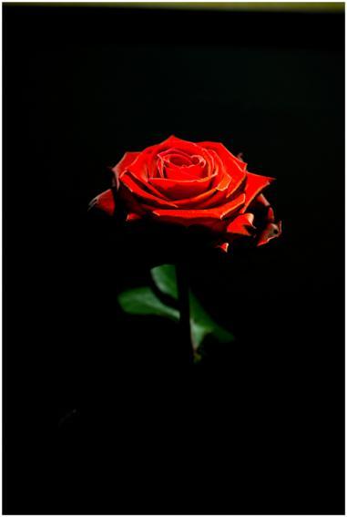 Wallpaper Desktop Quote Rose In The Dark Pentaxforums Com