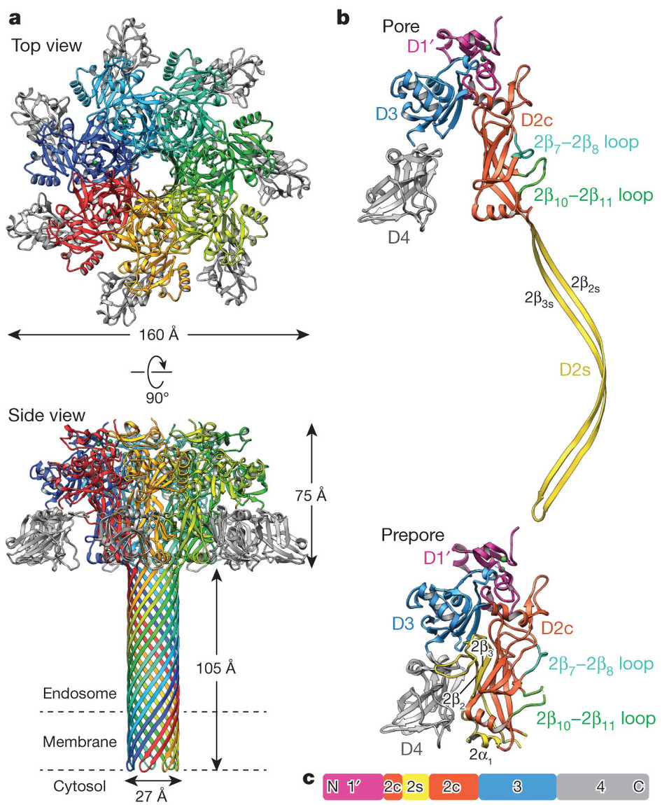 hight resolution of pentelute lab mit atomic structure of anthrax protective antigen pore elucidates toxin translocation