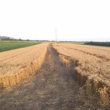 Muka seljačka: Kad pšenica rodi, država je izgazi