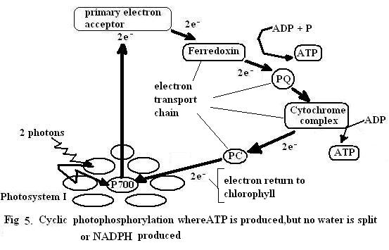 Introduction to botany Photosynthesis