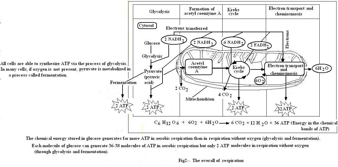 stages of glycolysis and fermentation diagram 97 jeep cherokee wiring introduction to botany respiraion image904