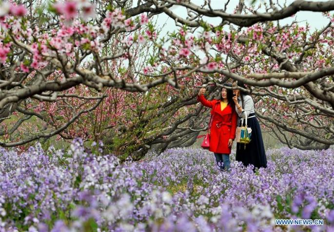 CHINA-TIANJIN-PEACH BLOSSOM (CN)