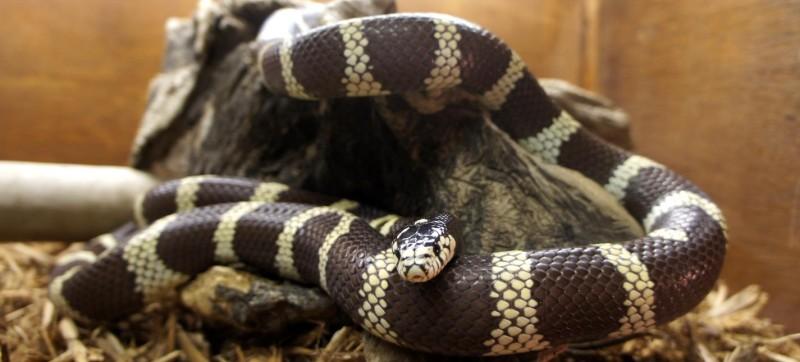 Peoria Zoo California King Snake  Peoria Zoo