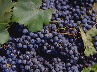 La culture de la vigne deuxime partie