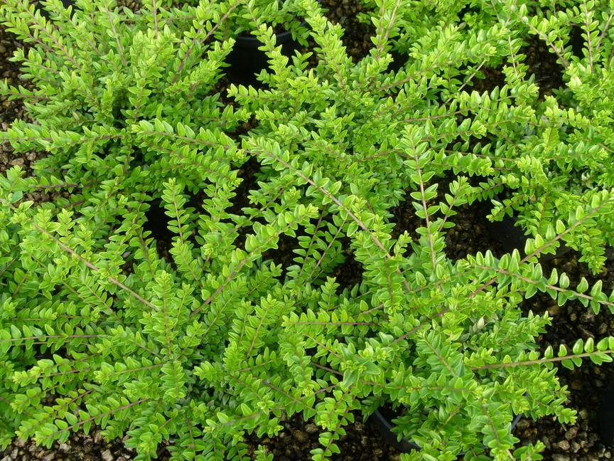 Lonicera nitida | Arbuste haie, Chevrefeuille arbustif ...