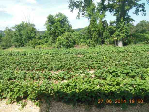 Strawberry fields in CT_PepperOnPizza.com