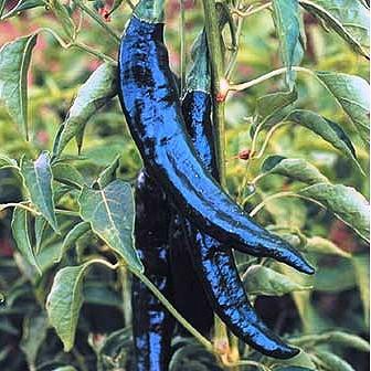 Pasilla Bajio  Capsicum Annuum  By species  HOT PEPPER