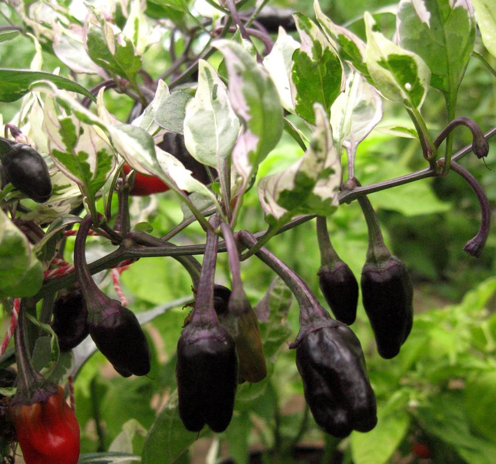 Ornamental Pepper Plant Indoors