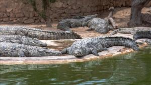krokodila