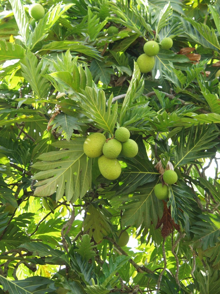 Breadfruit, one of the finest perennial staple crops for the humid tropics.